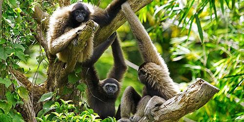 Gibbon Aapjes