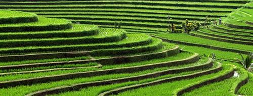Indonesie Wandelen door de rijstvelden