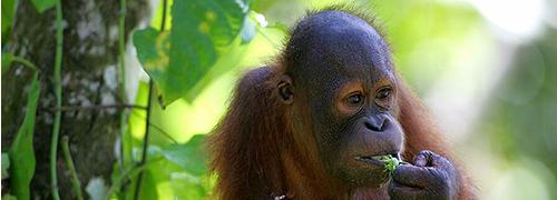 Orang Oetans Oog in oog met de Orang-Oetans op Sumatra