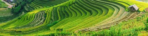 Rijsveld op Bali